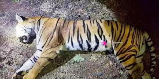 PCM to take cognisance of killing of Tigress Avni in Maharashtra