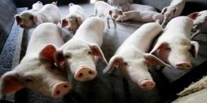 African Swine Flu Knocking on India's Door